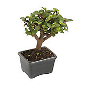 Mini Bonsai Variado con Maceta