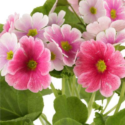 Primavera Rosada