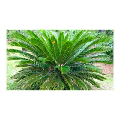 Palma Cyca 0.4M