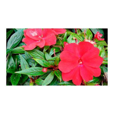 Nueva Guinea Roja
