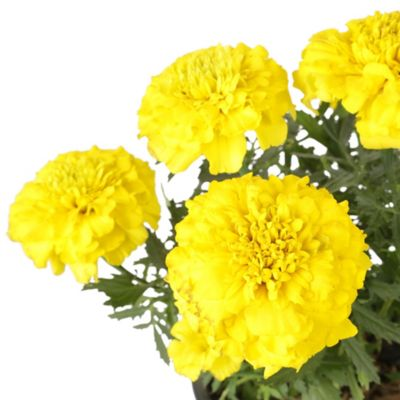 Merigol Amarillo