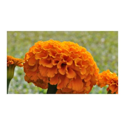 Merigol Naranja
