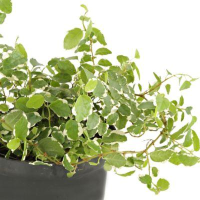 Ficus Rastrero M8