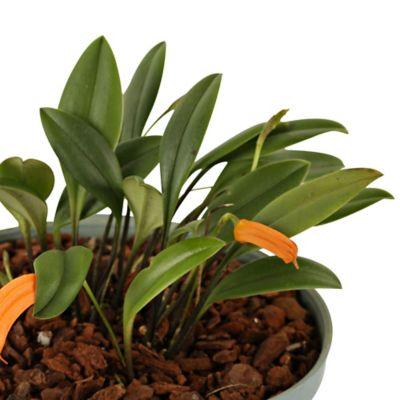 Orquidea Banderita