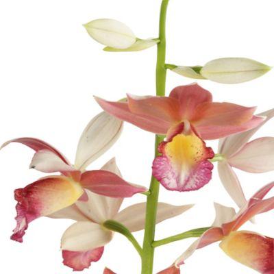 Orquidea Velo De Monja