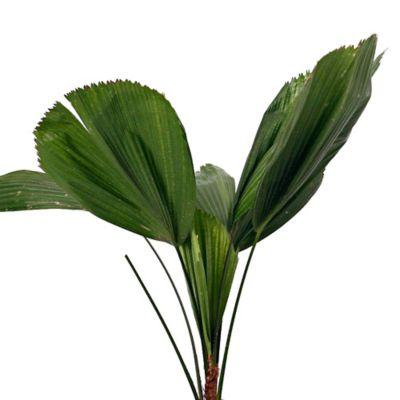 Palma Licuala 0.6M