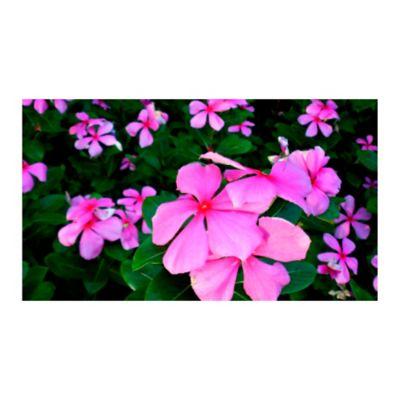 Vinca Flor