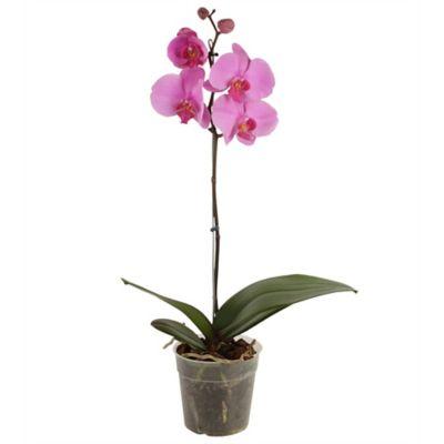Orquidea Phalaenopsis Morada