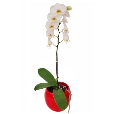 Oquidea Mariposa (Phalenopsis) Blanca