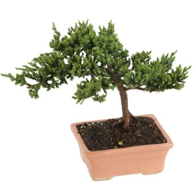 Mini Bonsai Variado 3 Años con Maceta
