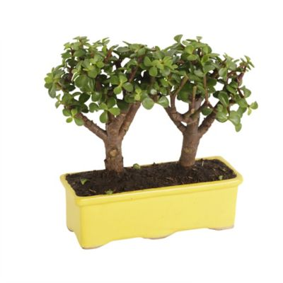 Bonsai Gemelo
