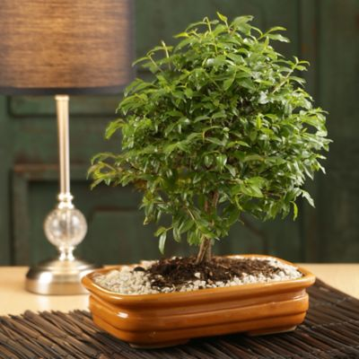 Bonsai Decorativo Chokkan