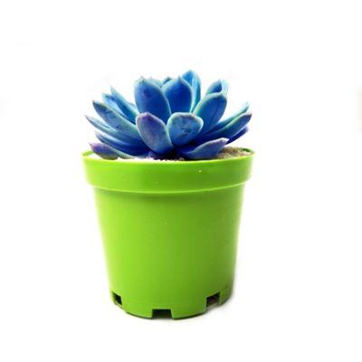 Mini Suculenta De Colores 9Cm
