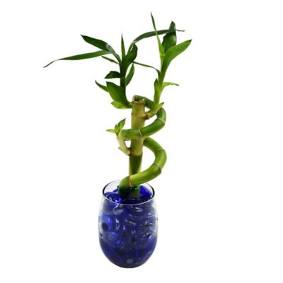Arreglo Lucky Bamboo Mini