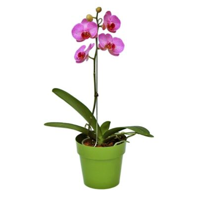 Orquídea Phalaenopsis Especial con Matera