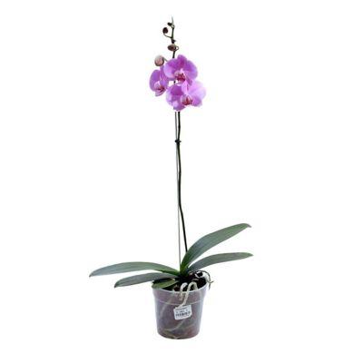 Orquídea Phalaenopsis Rosadas