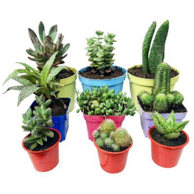 Combo Suculenta Cactus 9 Und 3 Referencias