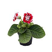 Gloxinia Roja
