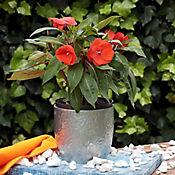 Nueva Guinea Naranja