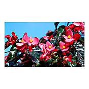 Begonia Pichon Rojo P-12