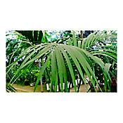 Palma Kentia A. 2Mt