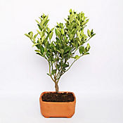 Bonsai Calamondi Matero Barro