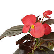Begonia Big Roja P14