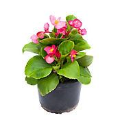 Begonia Conchita Rosada