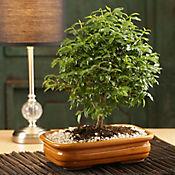 Bonsai Decorativo Chokkan