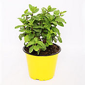 Hierbabuena P-14 Maceta Color