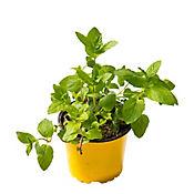 Planta Ornamental Tipo Aromatica
